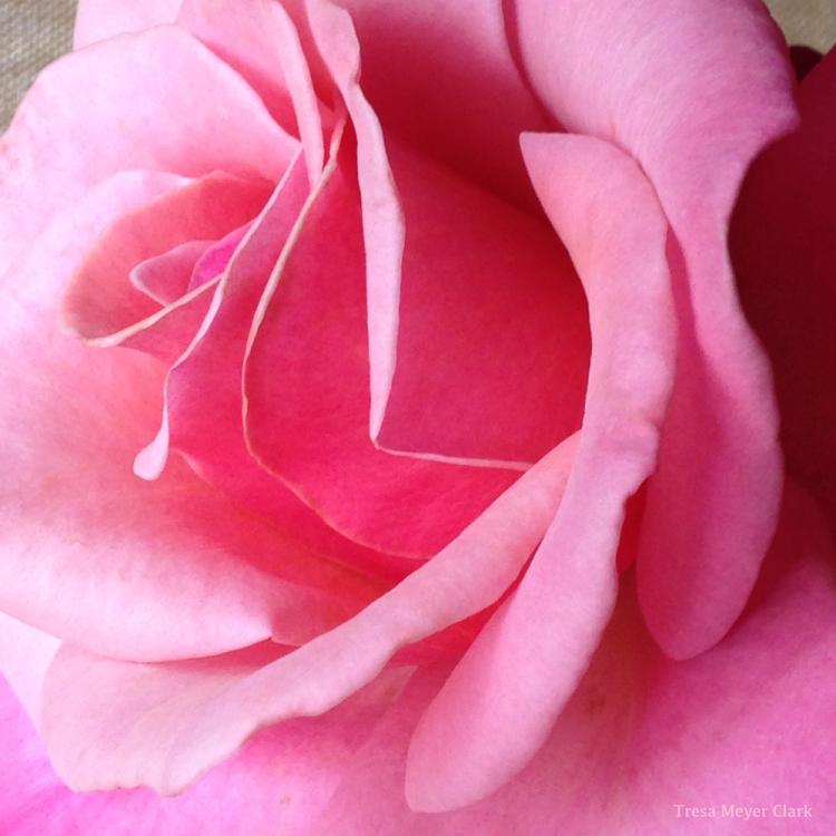 Pin Rose